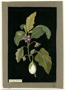 Solanum Melongena (Psianka podłużna)