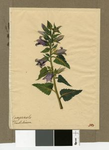 Campanula Trachelium (Dzwonek pokrzywolistny)