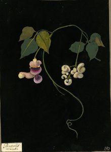 Phaseolus Caracalla (Winorośl)