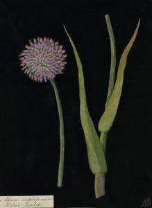 Allium Ampeloprasum (Czosnek dziki)