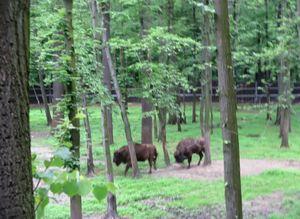 Żubry w Parku Pszczyńskim